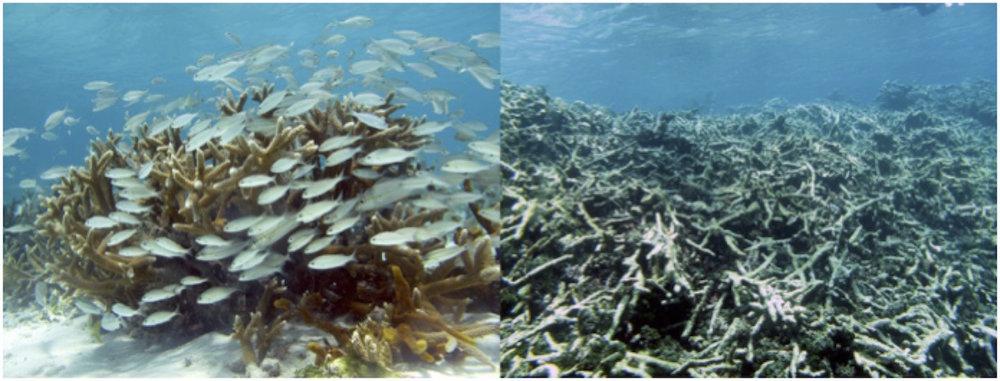 Aspecto de una colonia viva, usualmente rodeada de peces (izquierda), en comparación con un arrecife muerto donde sólo quedan restos de coral (derecha). Imagen cortesía de Stephanie Martínez.