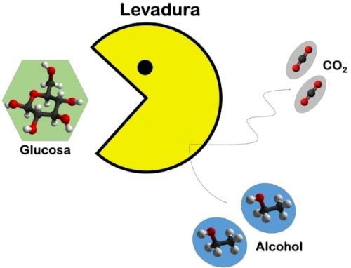 FIGURA 3. Esquema simplificado del proceso de fermentación en levaduras. En la representación molecular, las esferas rojas son oxígeno, las blancas hidrógeno y las grises carbono.