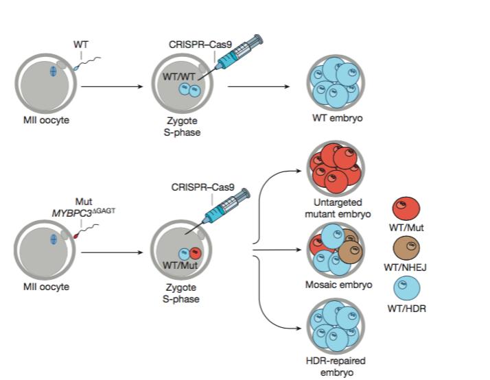 Método CRISPR-Cas9, ilustración original en el artículo de la revista Nature.