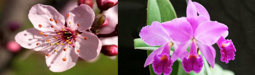 A la izquierda la flor del cerezo (Prunus serrulata) – sakura, en japonés- y a la derecha una orquídea (Cattleya mossiae).