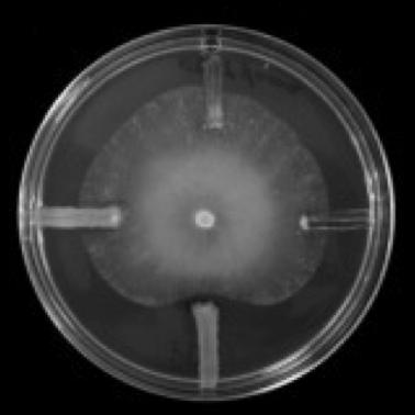 Ensayo de antibiosis. Como pequeñas rayas a las 12, 3, 6 y 9 de la placa (si esta fuera un reloj) sembraron 4 especies de bacterias y en el centro sembraron un hongo patógeno de plantas. La bacteria sembrada a las 6 inhibe el crecimiento de este hongo, Pythium ultimum.