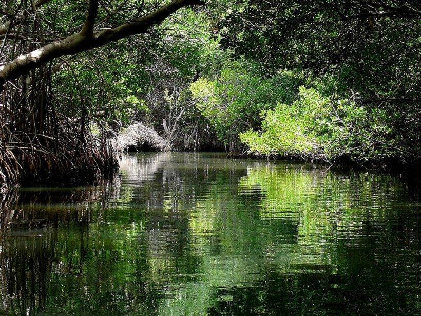 Manglares del Parque Nacional Laguna de la Restinga, Isla Margarita, Venezuela. Crédito de la foto:Enzo861 para Wikipedia.