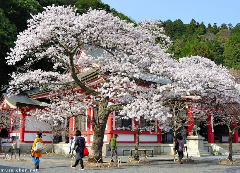 Foto de la floración del cerezo en Mount Kurama, Kyoto, el 13 de marzo del 2014, tomada por  Muza-chan .